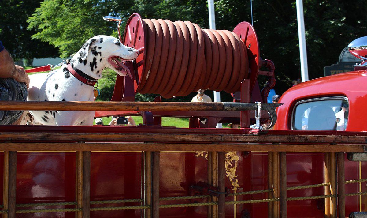 Dalmatian on Fire Truck