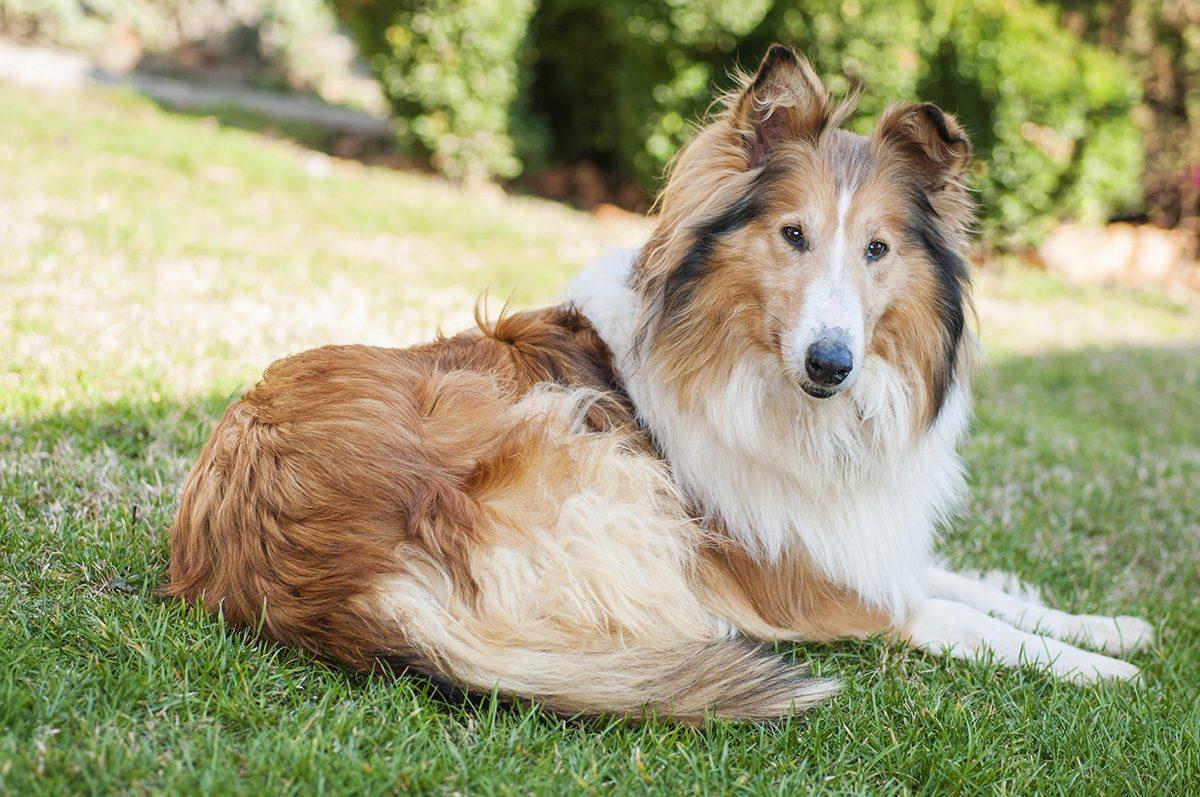 Lassie Jr